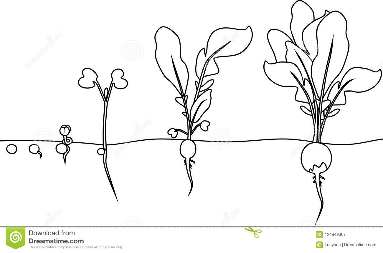 coloring page  stages of radish growth from seed and sprout to harvest stock vector