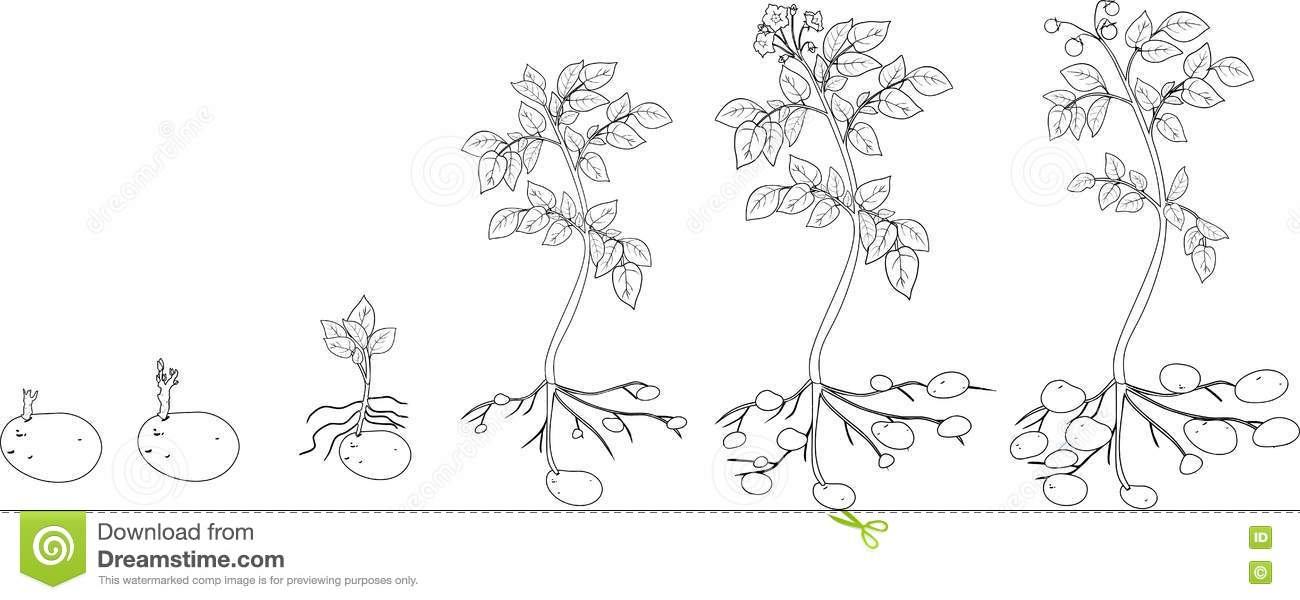 Coloring With Potato Plant Growth Cycle Stock Vector ...