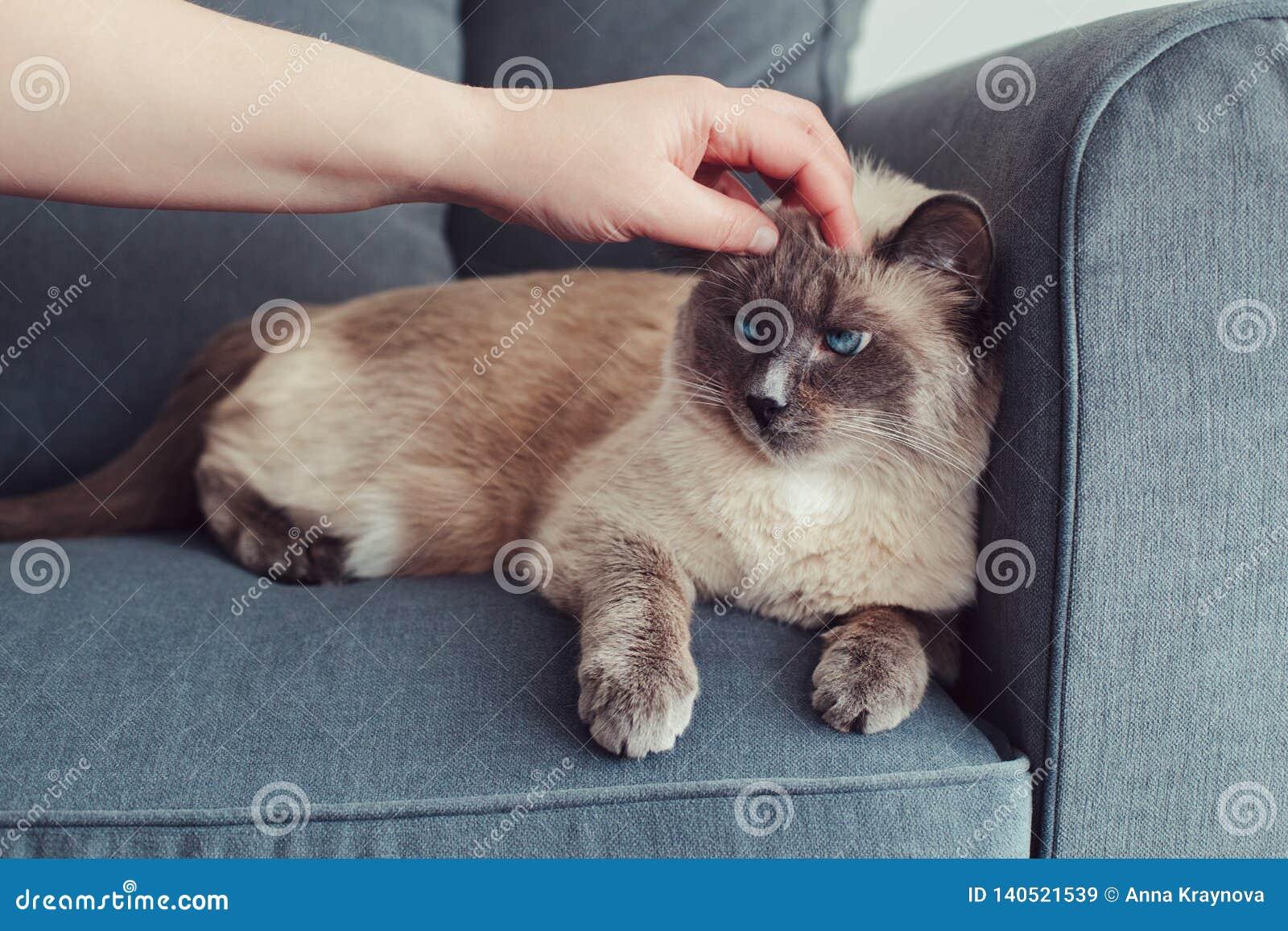 Colorpoint blauw-eyed kat die op laagbank liggen
