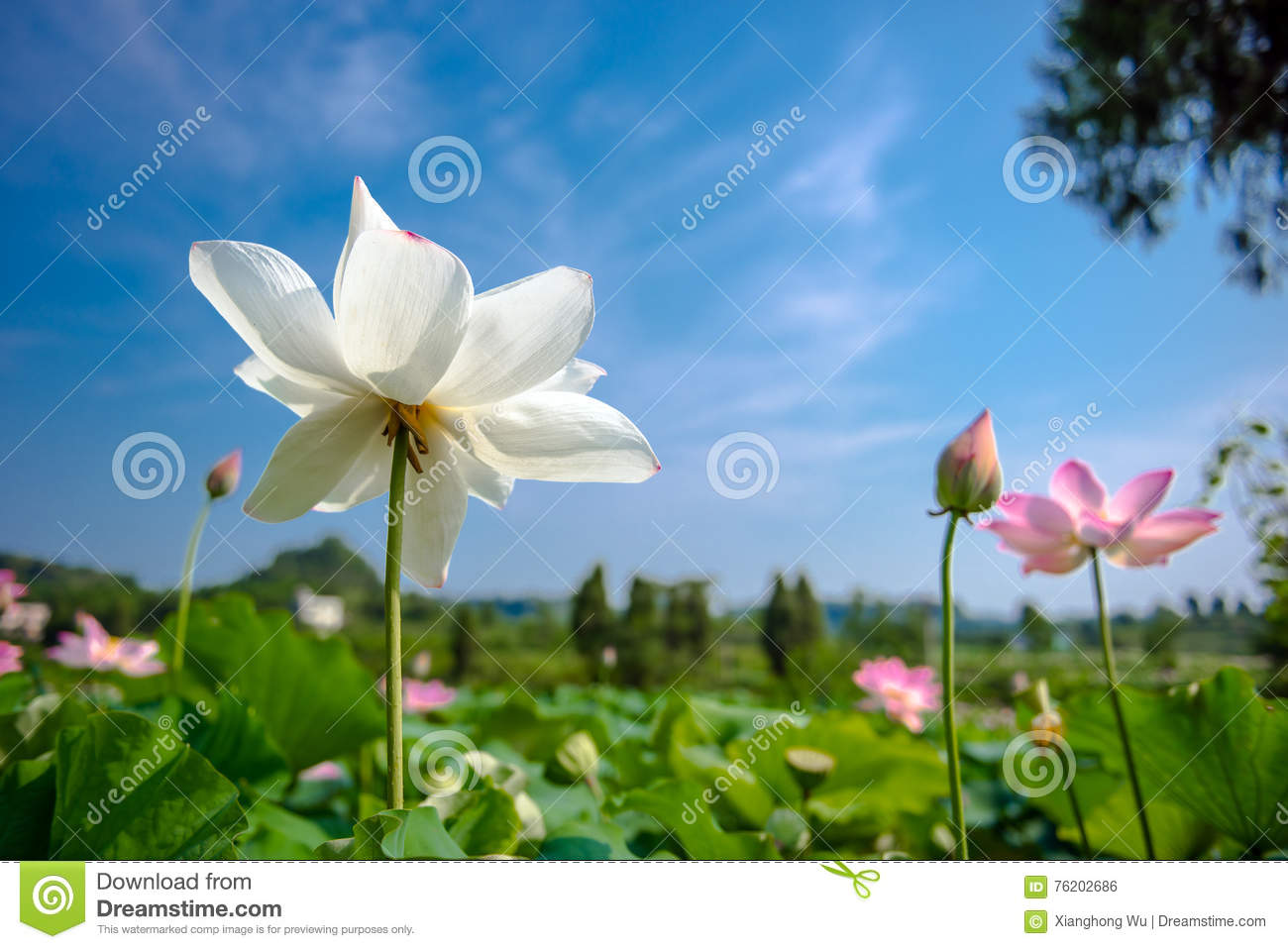 Colors lotus in blue sky background stock photo image of green colors lotus in blue sky background izmirmasajfo