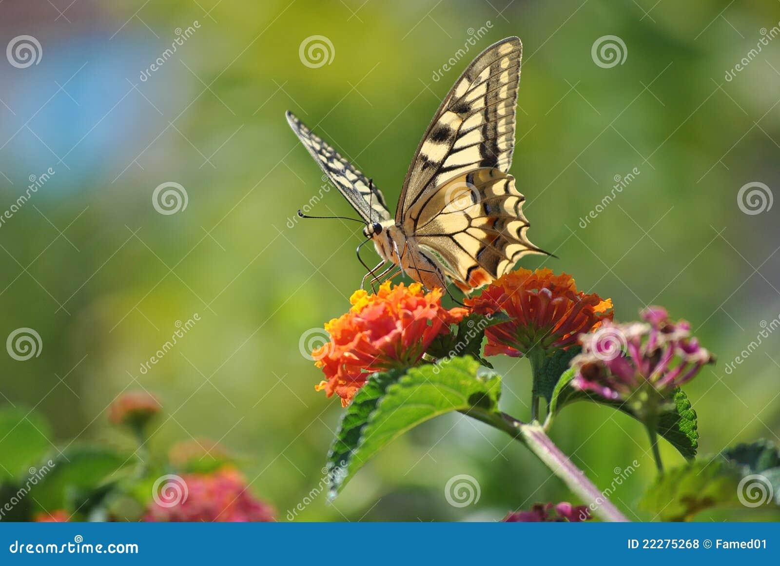 Colors of Sardinia - Papilio machaon