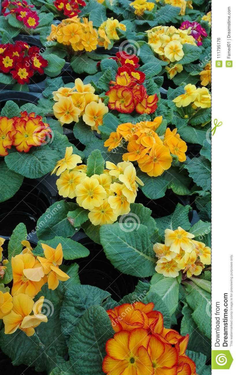 Colors Of Spring In Garden Center Stock Photo Image Of Beautiful