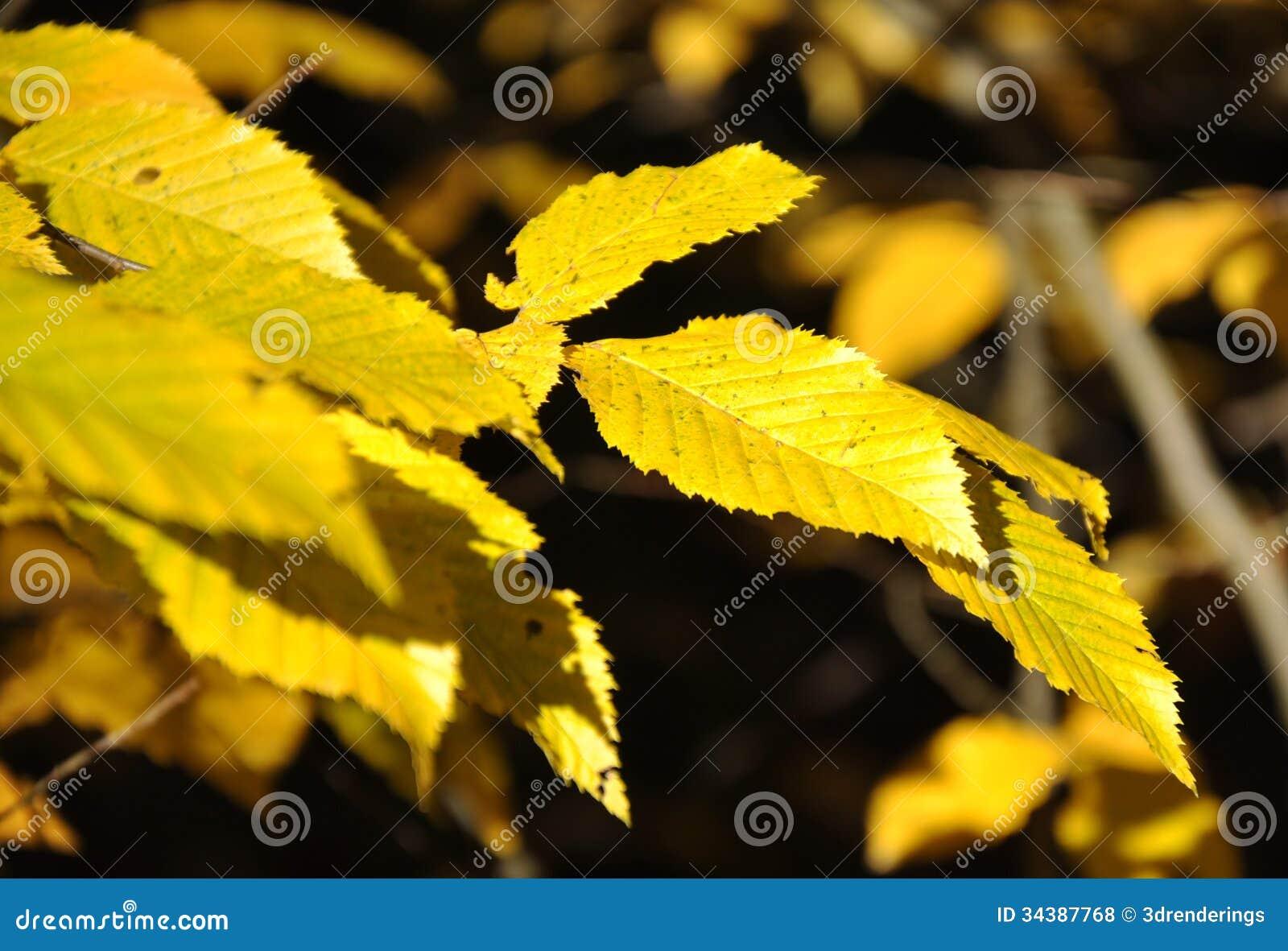 coloruful秋叶黄色铁木树树.图片