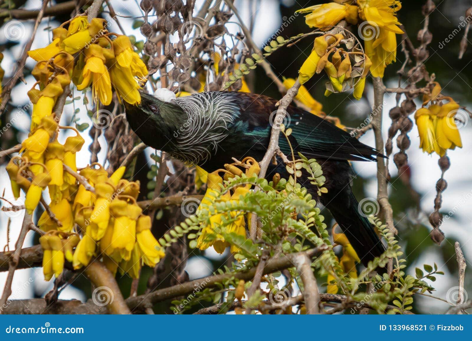 New Zealand Native Songbird The Tui In Native Kowhai Tree Sucking