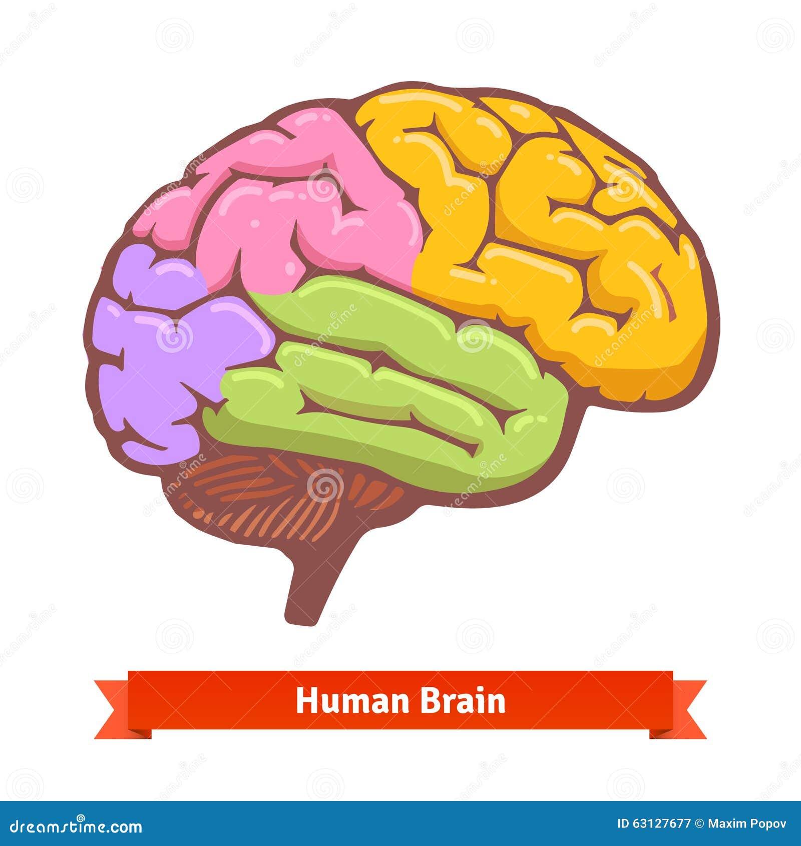 Coloured Human Brain Diagram Stock Vector Illustration Of Cerebrum