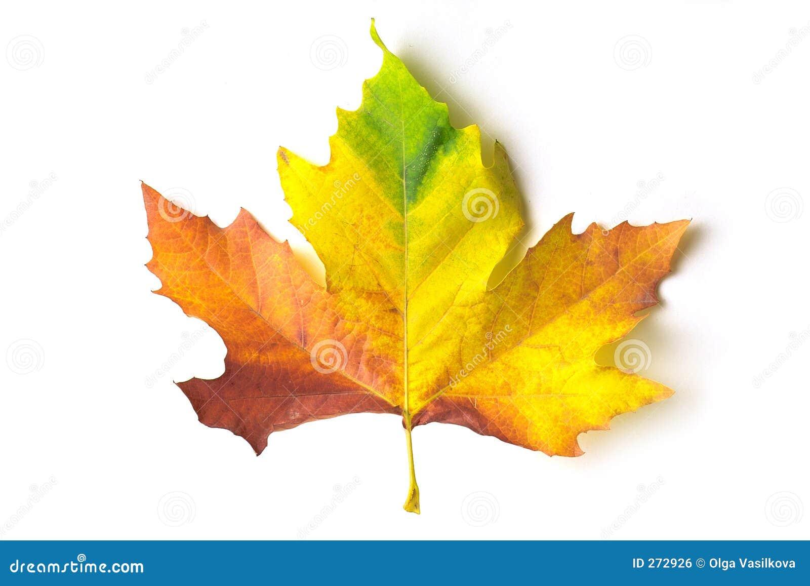 coloured maple leaf royalty free stock image image 272926