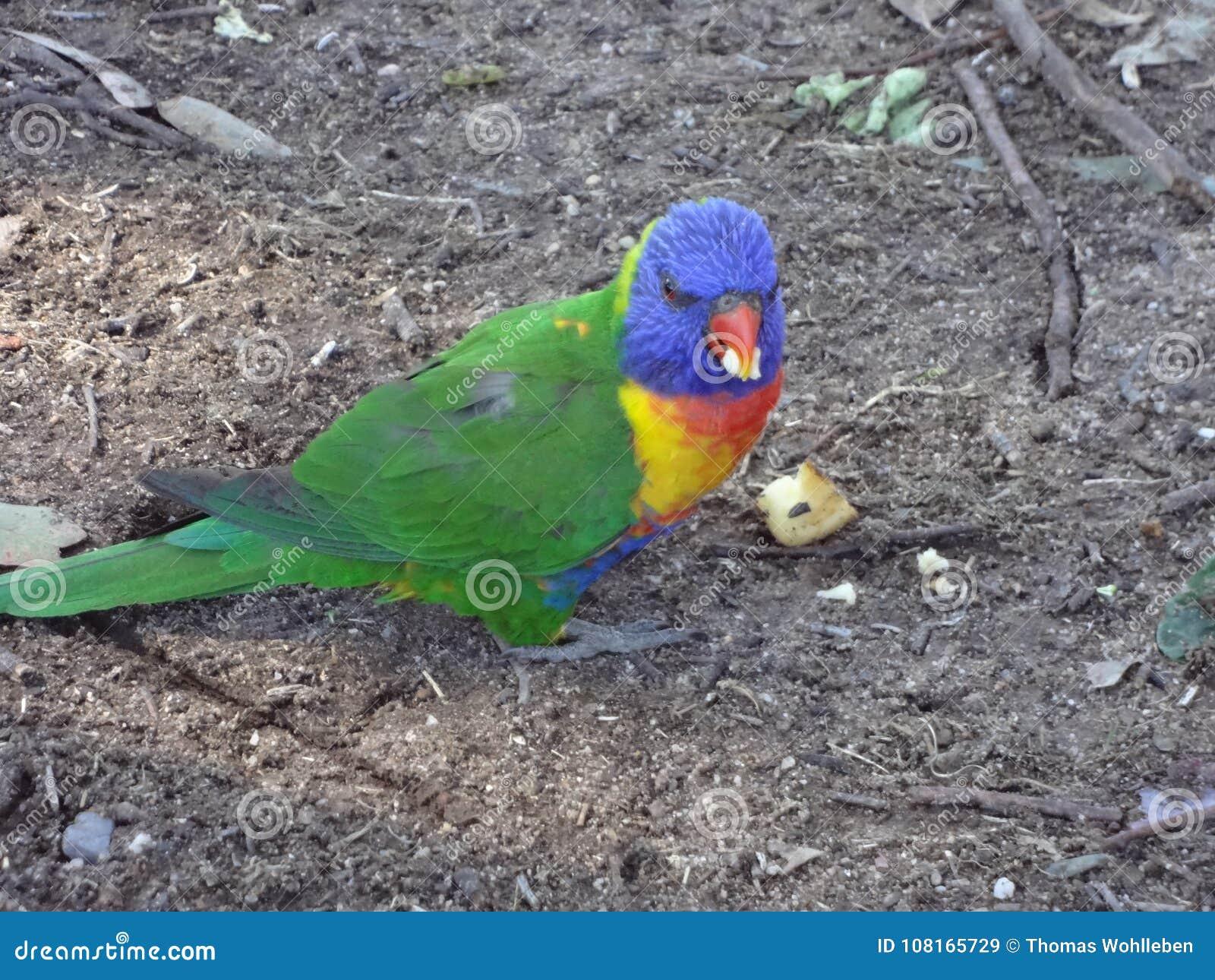 Colourful Parrot In Australia Stock Image Image Of Enjoying Yellow 108165729