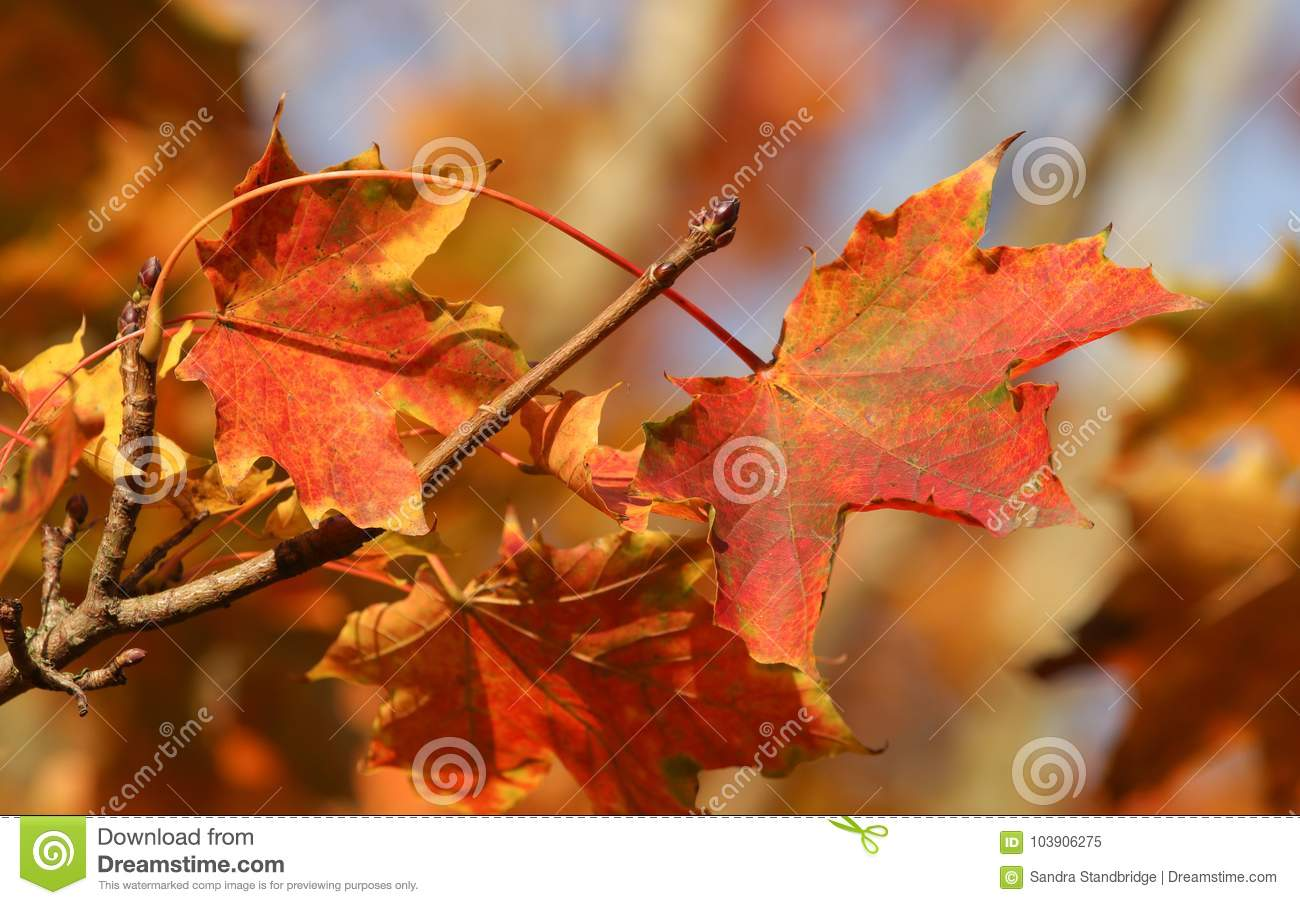 Colourful Autumn Leaves Blowing In The Wind On A Sunny Day Stock Image Image Of Autumn Color 103906275