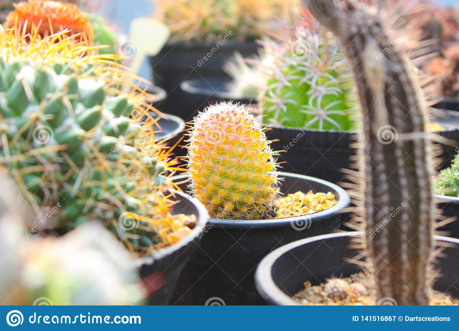 Colourful Cactus for gardening