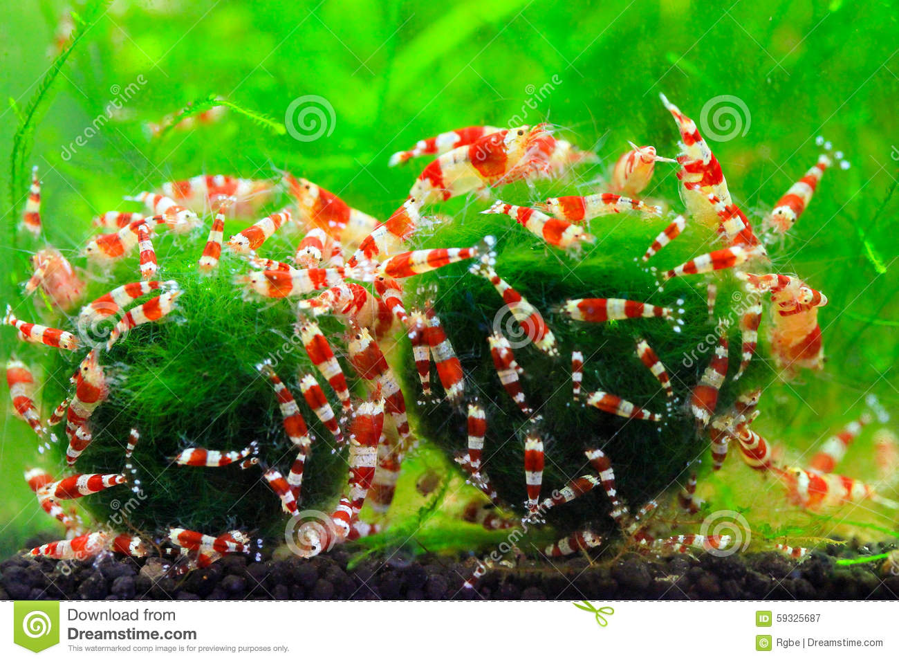 Colourful crystal red shrimps