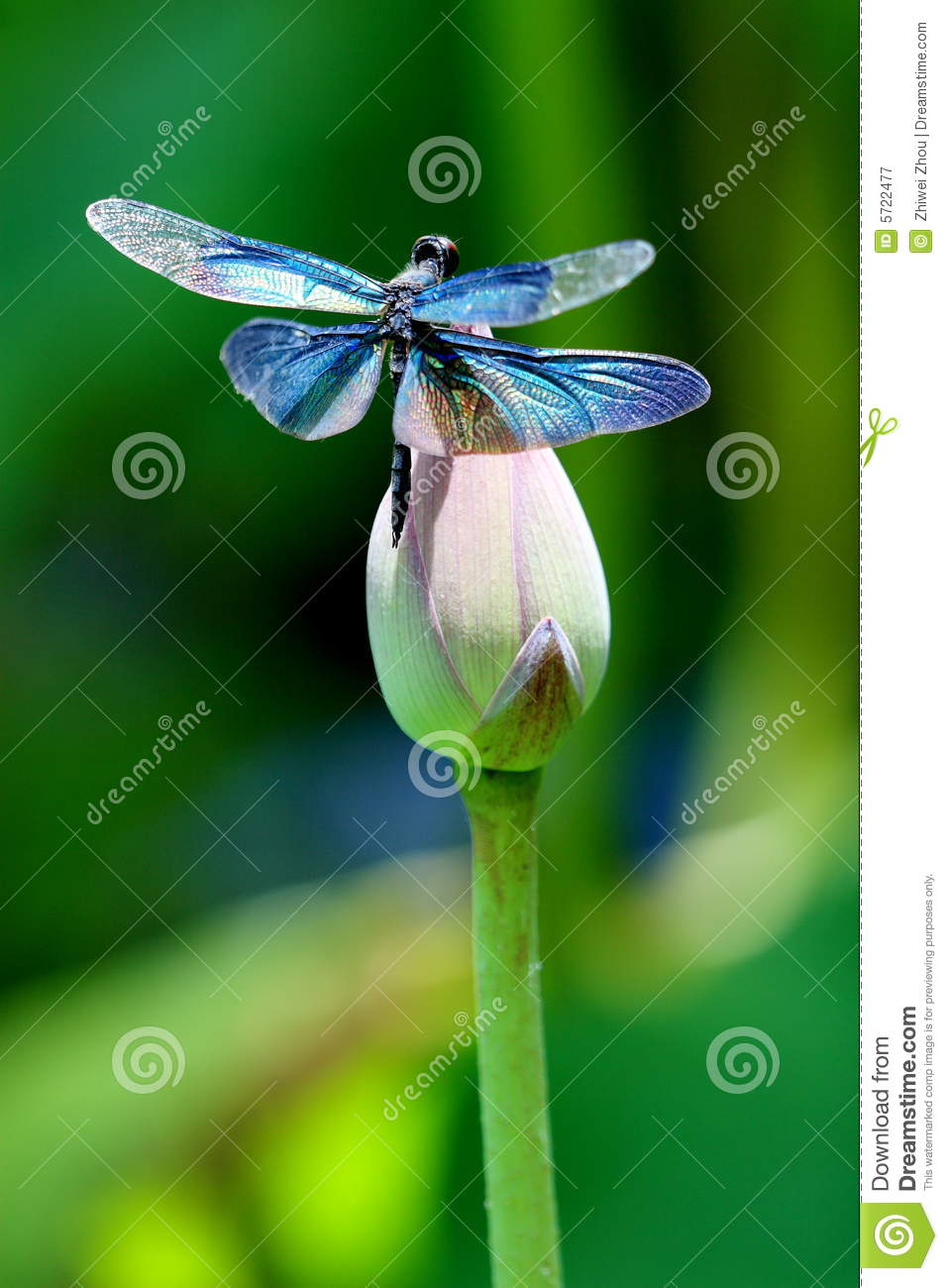 Colourful dragonfly on a lotus flower