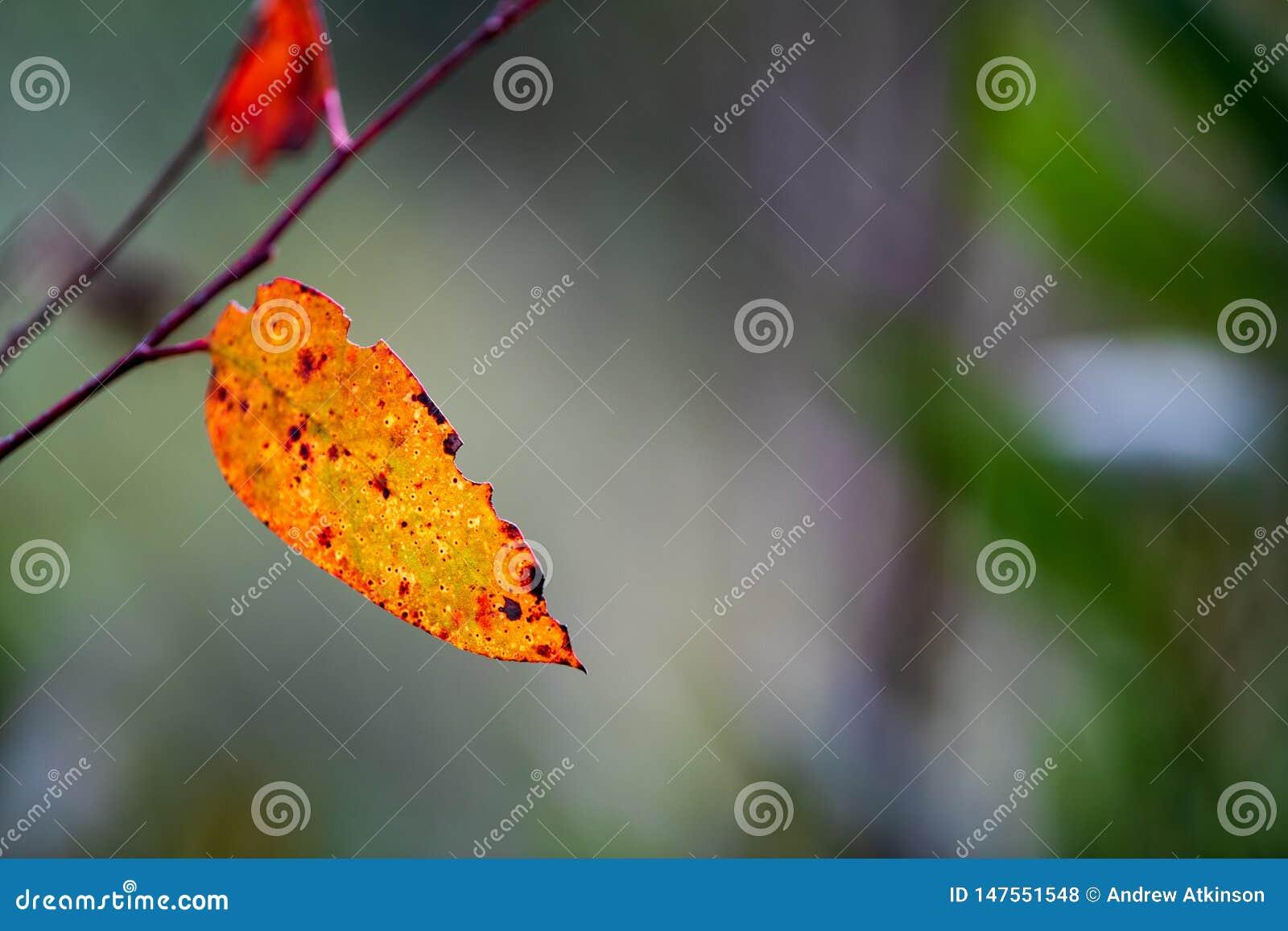 Colourful eukaliptusowy liść w Australijskim krzaka plecy zaświecał słońcem