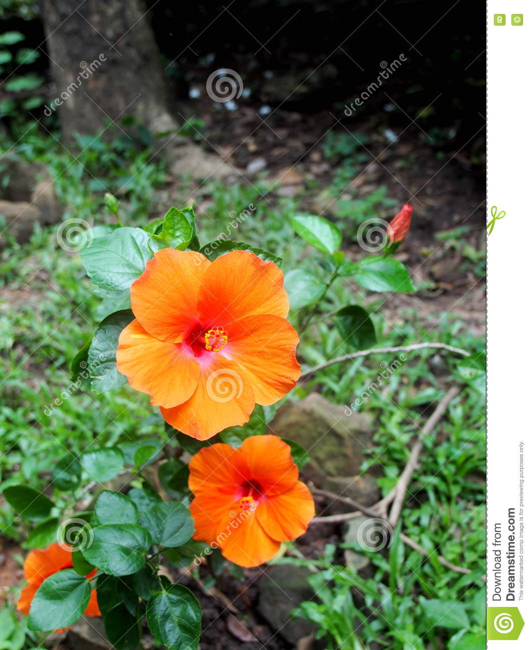 Colourful flower looks like chinese rose hibiscus rosa sinensis royalty free stock photo izmirmasajfo Choice Image