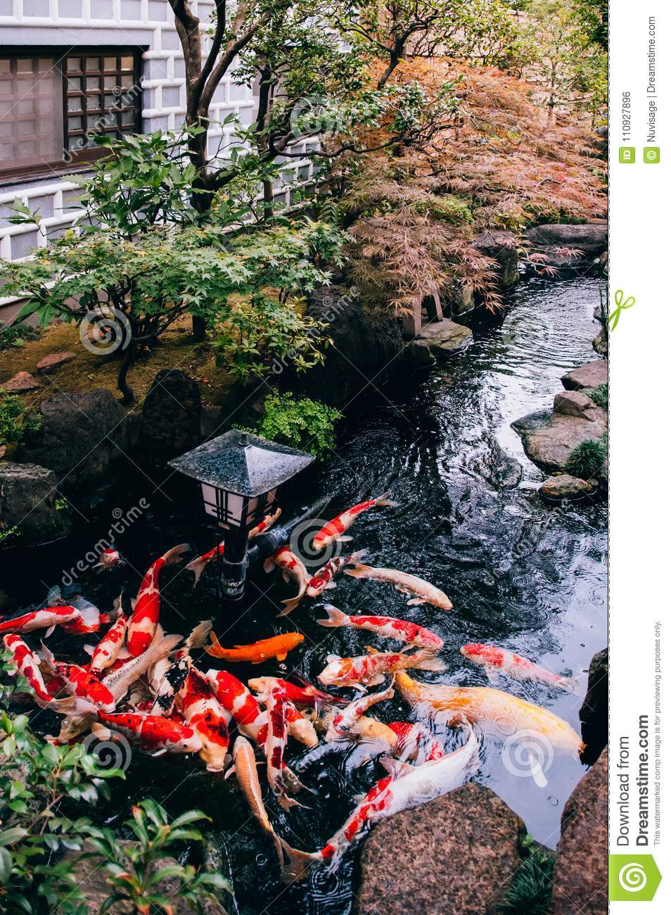 Colourful koi carp fish in japanese garden pond with for Garden pond design software free download