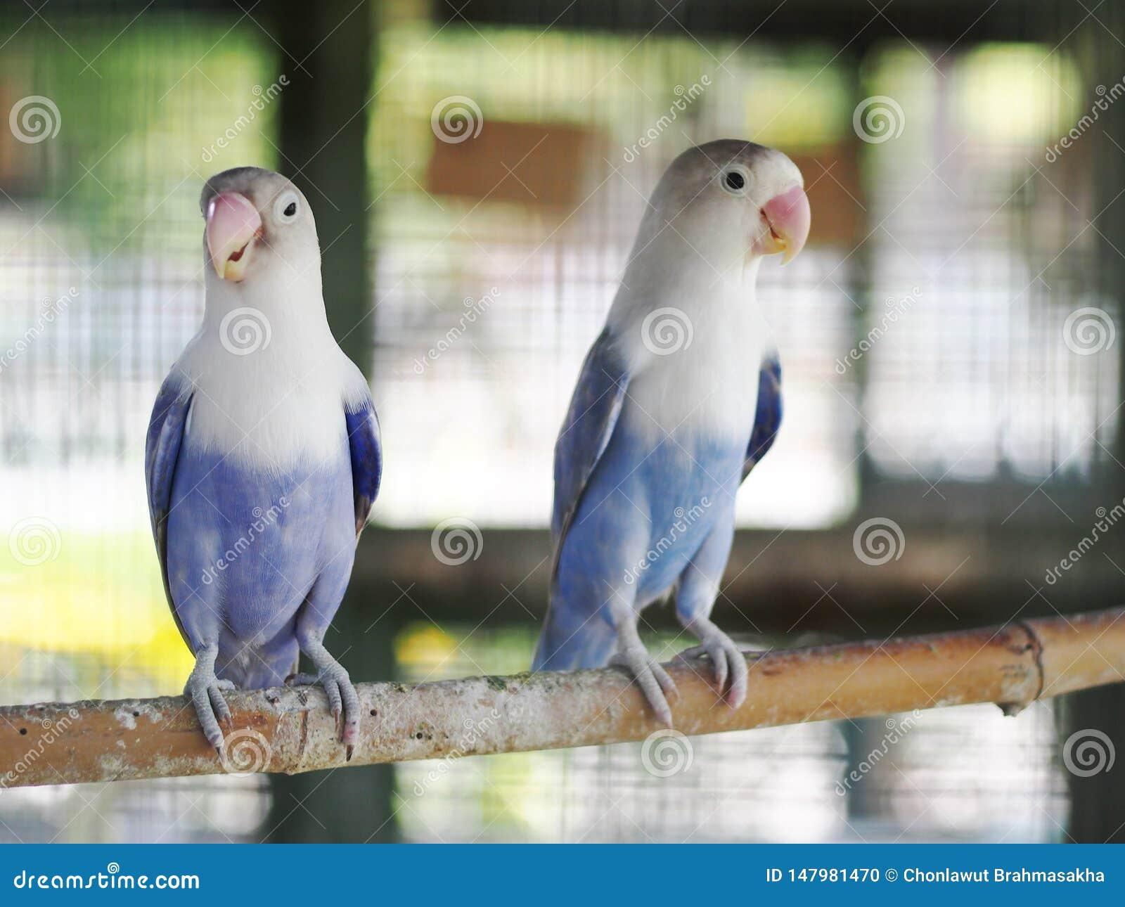 Colourful pastel tone color lovebirds little cute young parrots