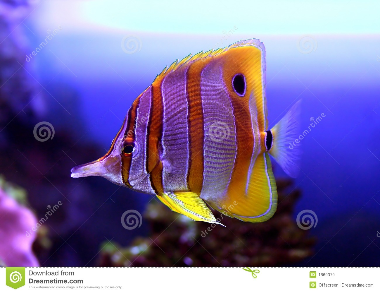 Colourful sixspine butterfly fish royalty free stock for Photos of fish