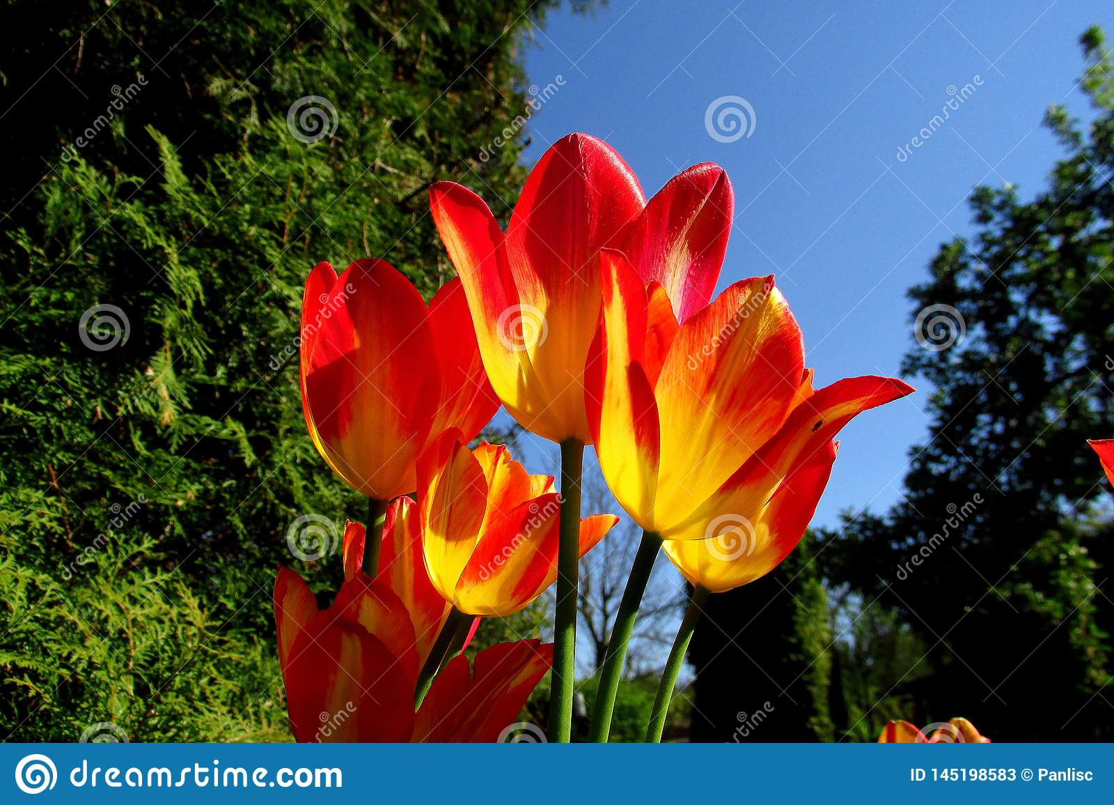 Colourful tulipany w wiosny słońcu z zielonej trawy tłem