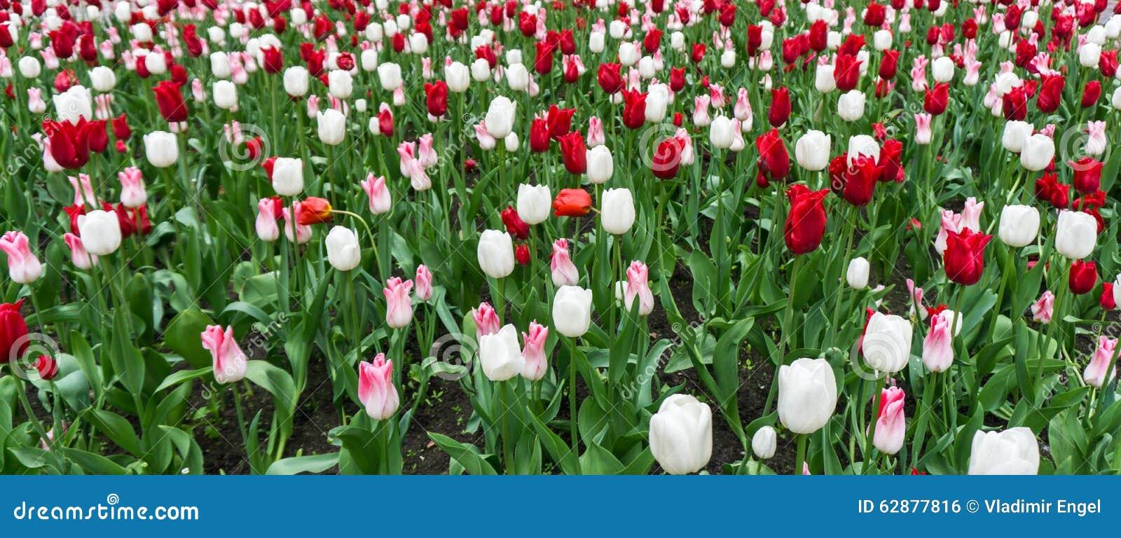 Colourful tulips flowers season garden outdoor beauty