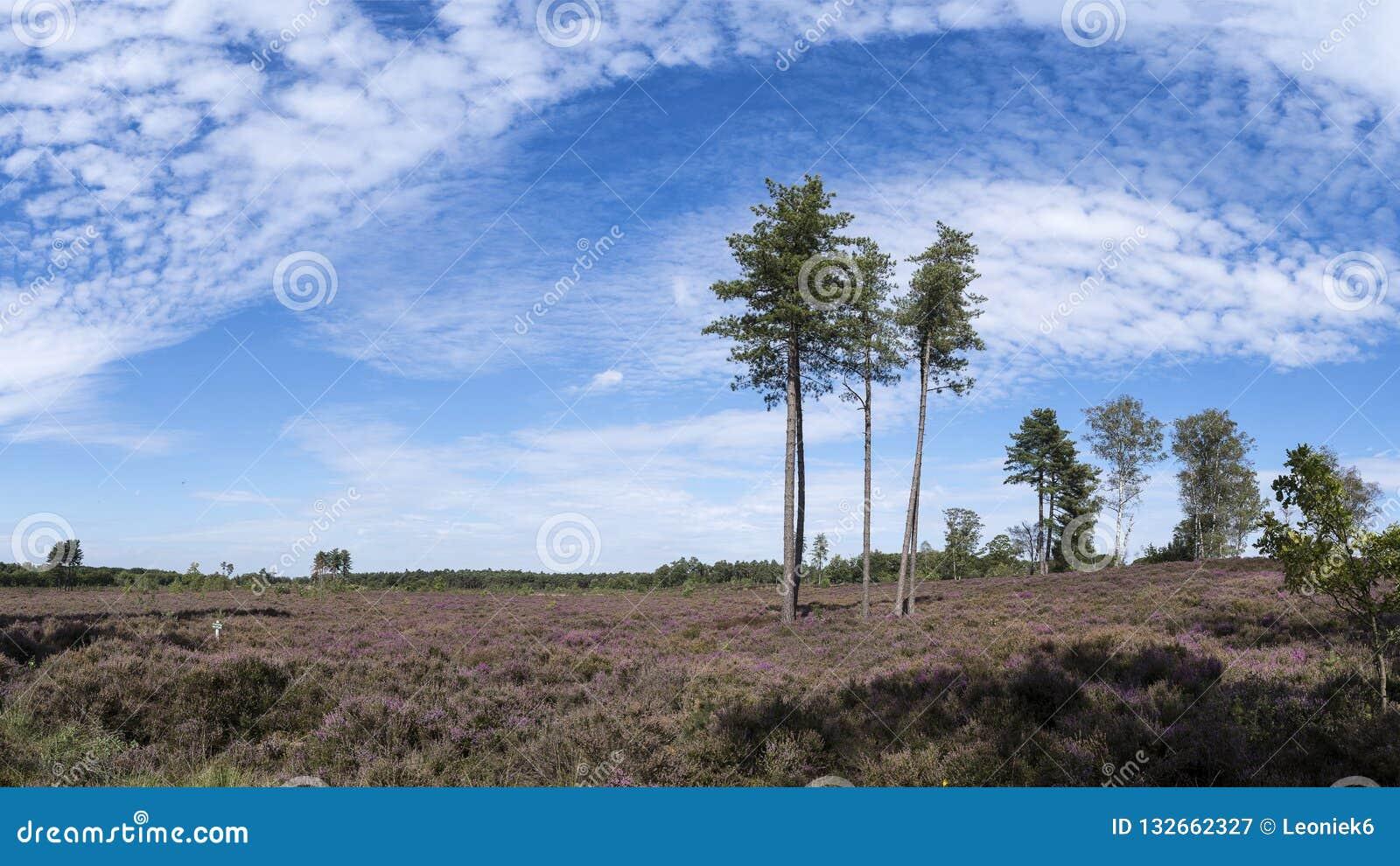 Colourful wrzosu krajobraz z dużymi ostrog drzewami, paprociami, niebieskim niebem i chmurami, rezerwat przyrody melina Treek, Wo