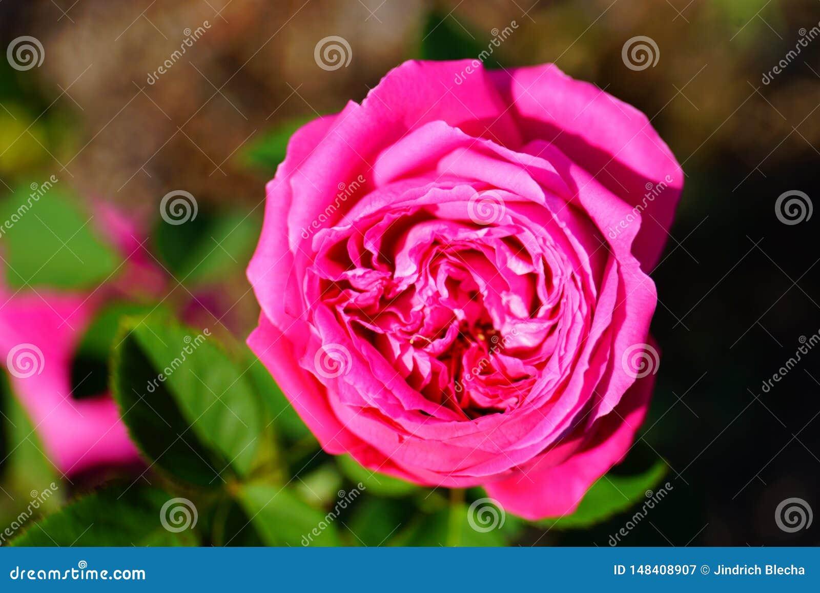 Purple rose in blossom