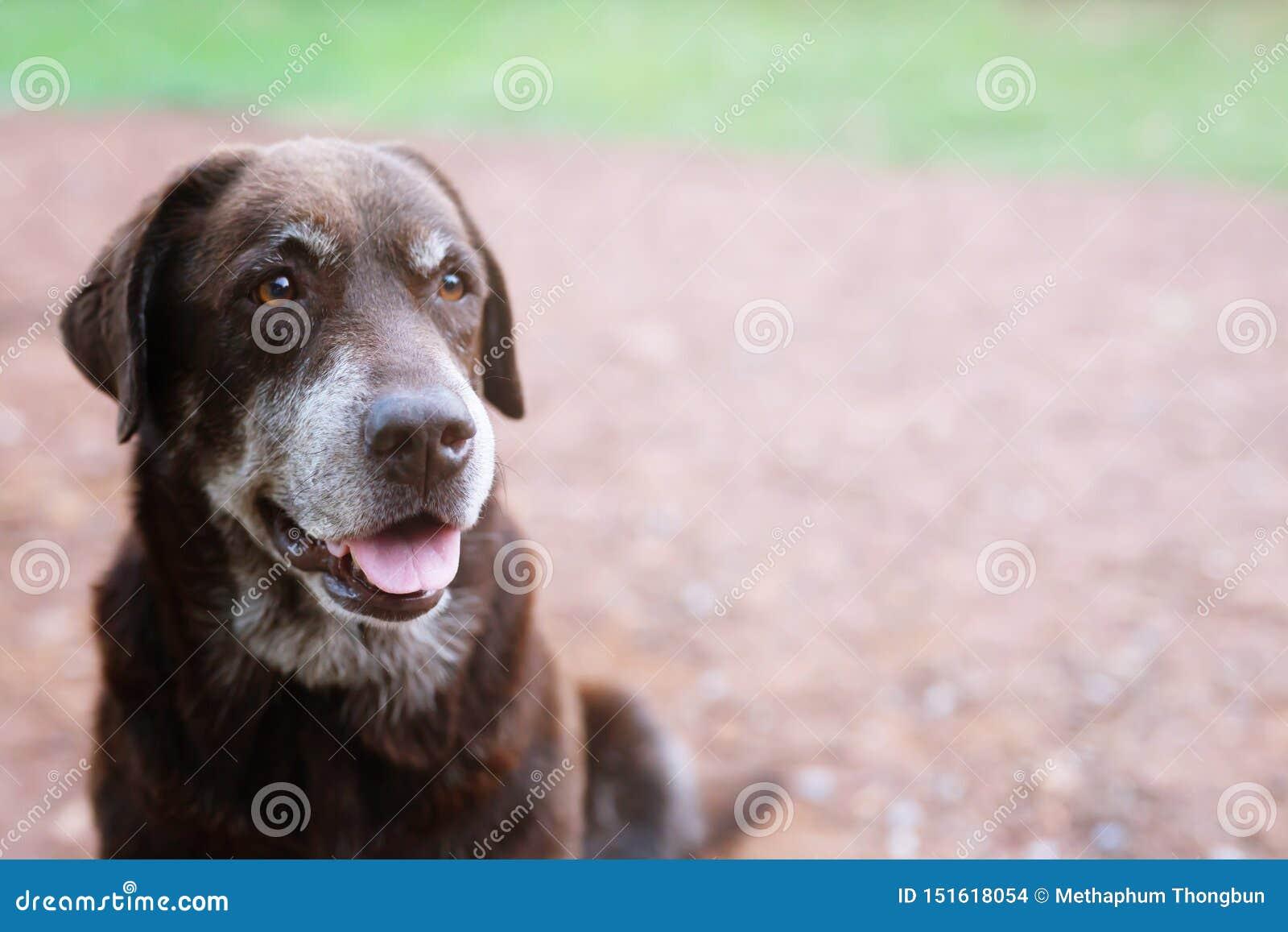 Colpevole timido del cane è un segugio del riparo che aspetta cercando con gli occhi soli uno sguardo fisso intenso all aperto