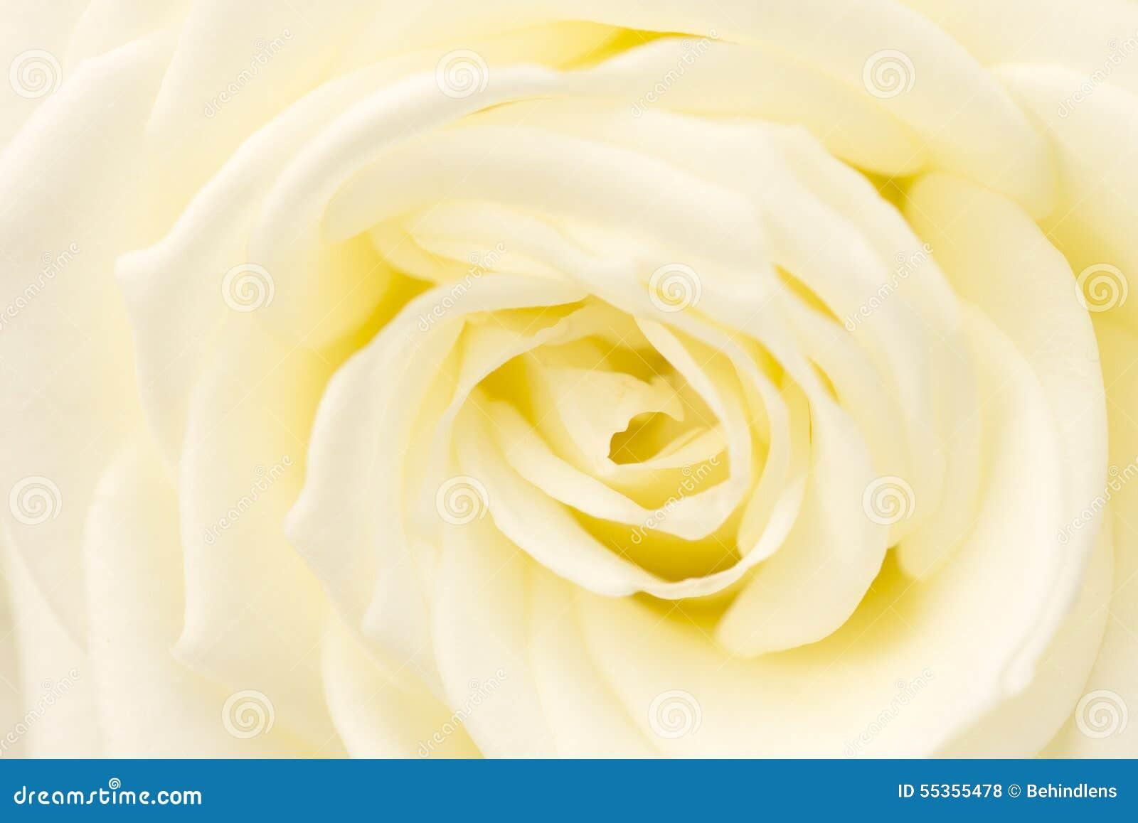 Colpo alto chiuso bianco di Rosa