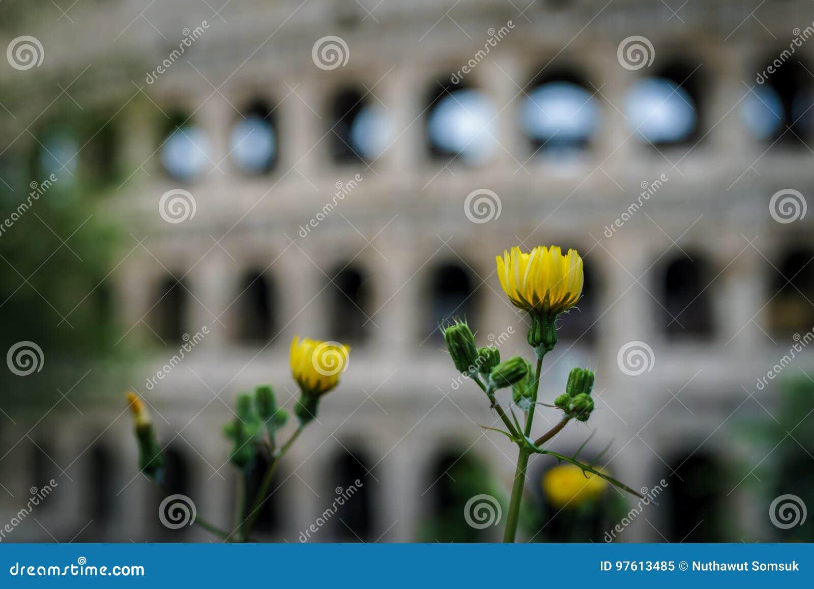 Fiori Gialli Roma.Colpo Alto Chiuso Del Fiore Giallo Con Colosseum Vago Nelle Sedere