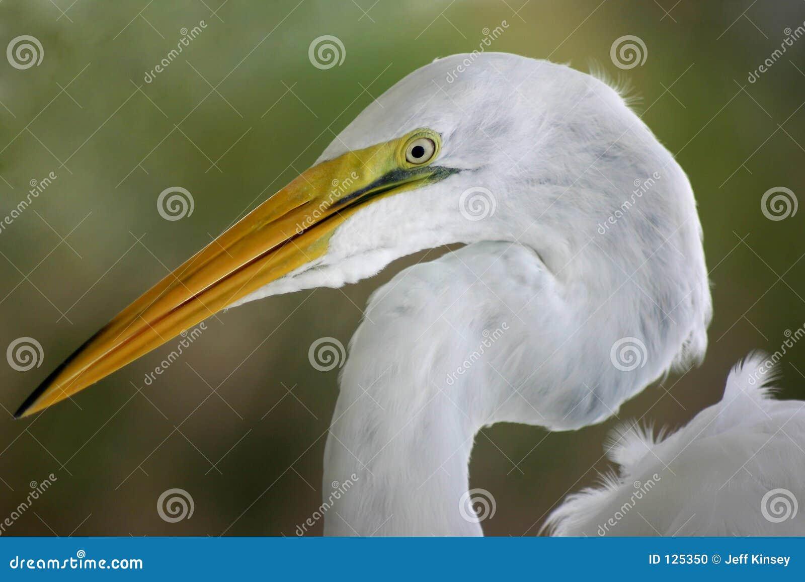 Colpo capo del Egret