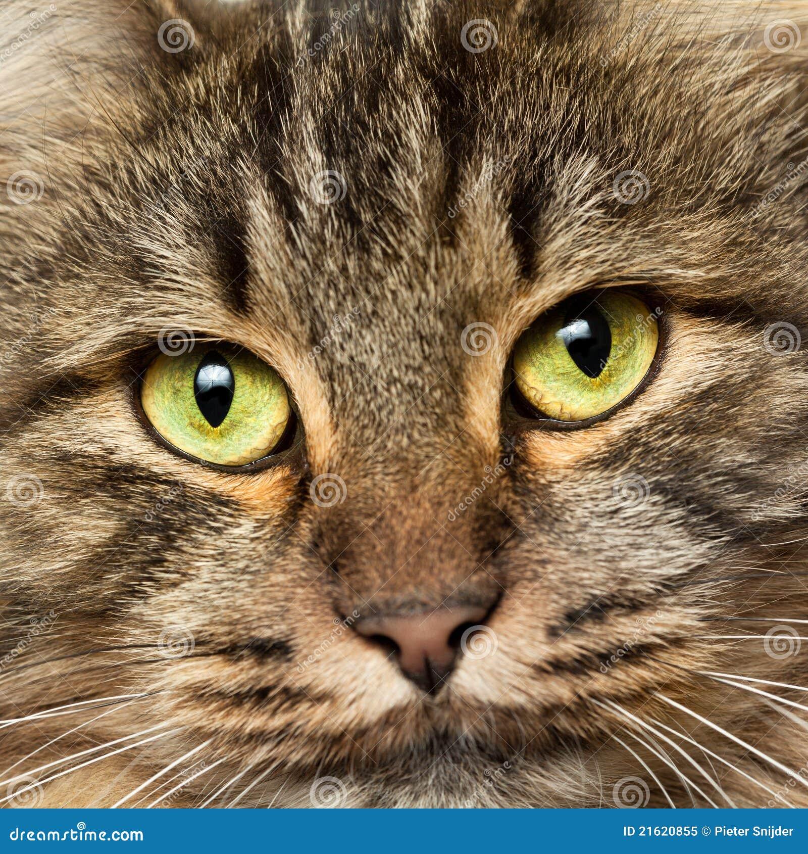 Colpo capo del gatto norvegese della foresta immagine for Gatto della foresta norvegese