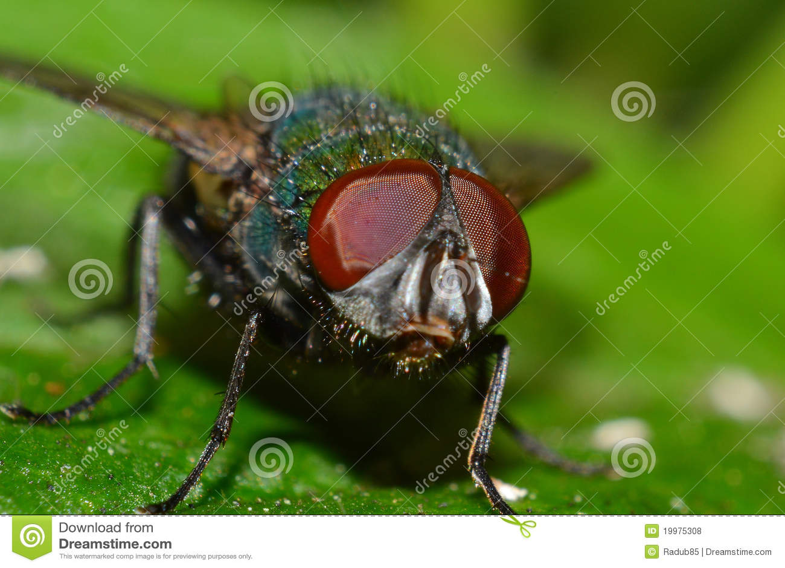 Colpo a macroistruzione della mosca con gli occhi rossi - Mosche verdi ...