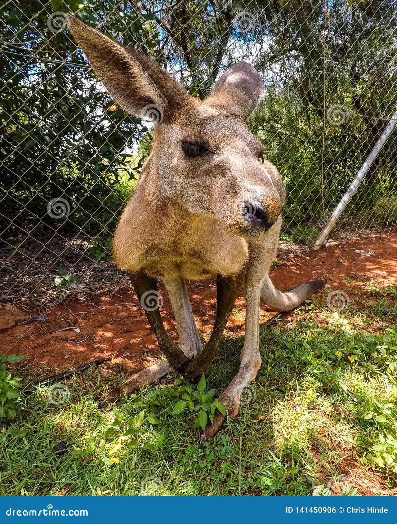 Colpo vicino del canguro