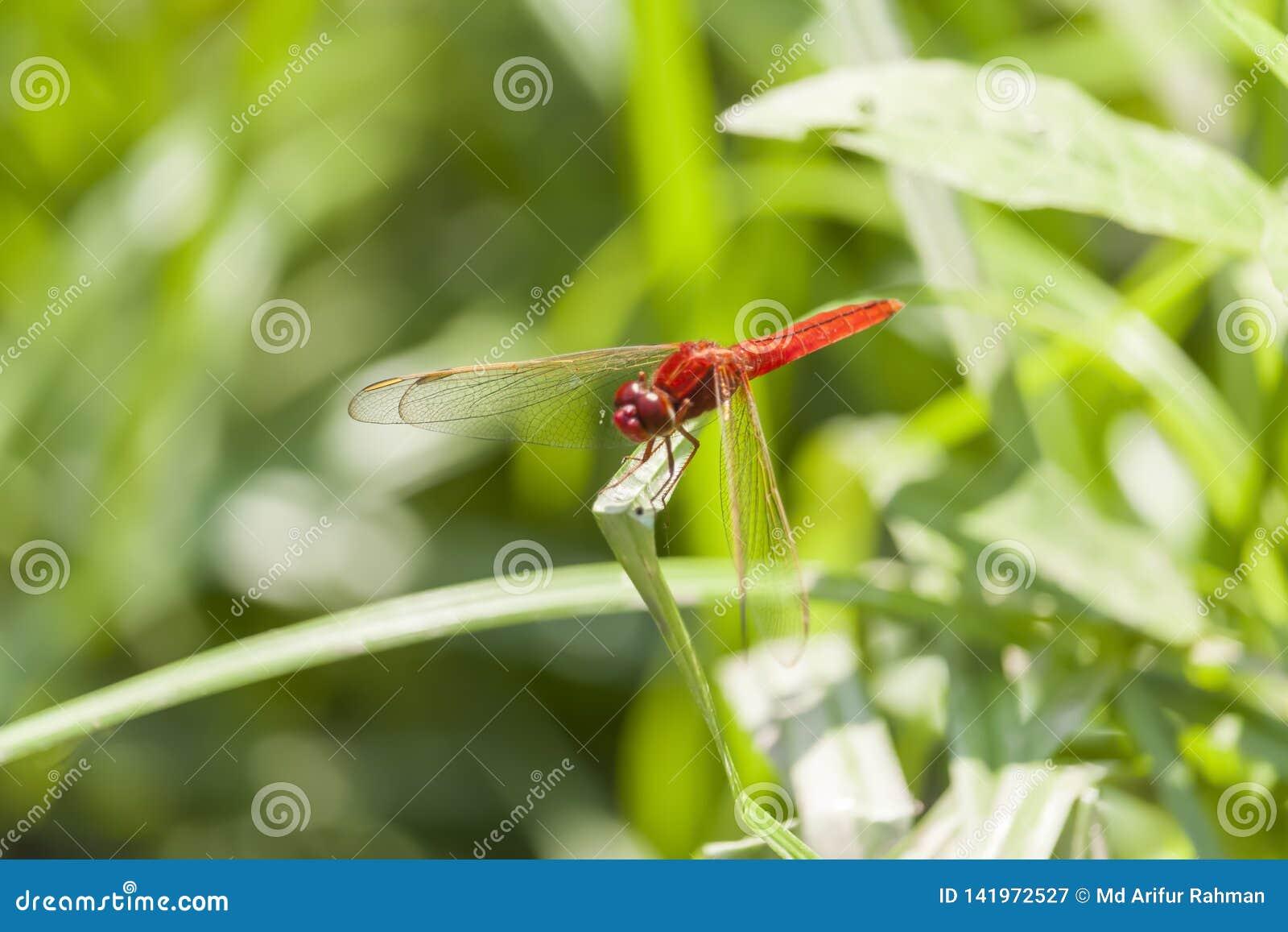 Colporteur migrateur rouge