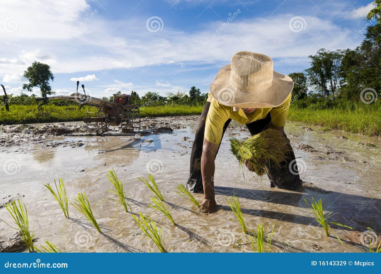 Coltivatore asiatico del riso