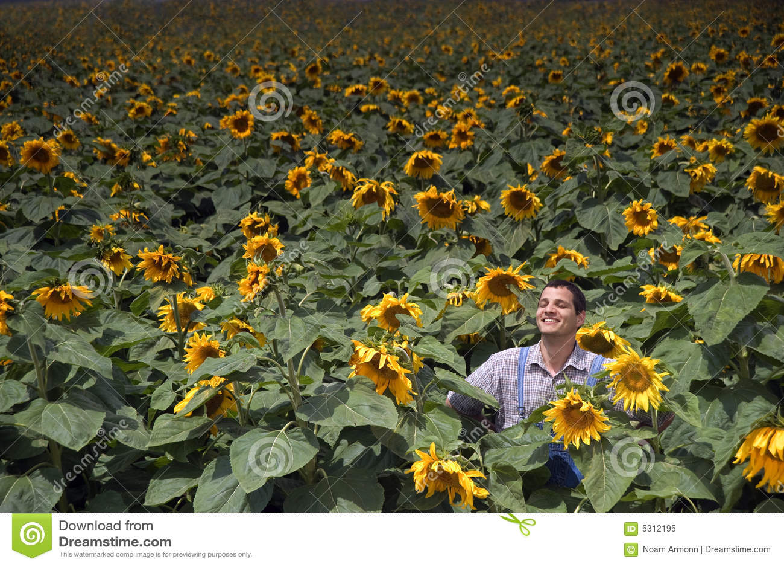 Download Coltivatore Nel Giacimento Del Girasole Immagine Stock - Immagine di massa, calore: 5312195