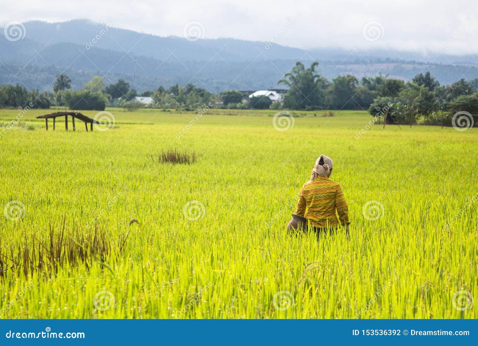 Coltivatore nel giacimento del riso