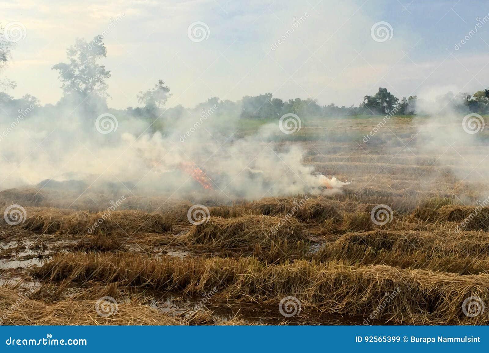 Coltivazione bruciante della stoppia del riso del fuoco