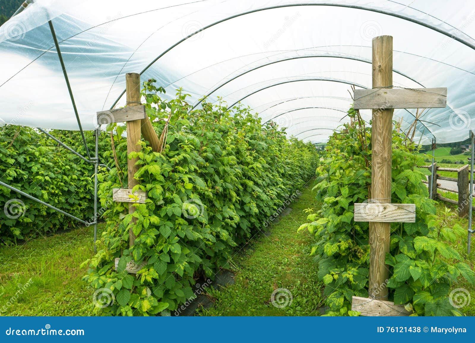 Come Coltivare I Lamponi coltivazione del lampone fotografia stock. immagine di