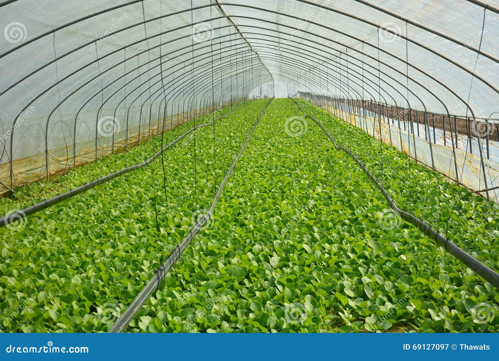 Coltivazione della bietola in una serra fotografia stock for Planimetrie della serra