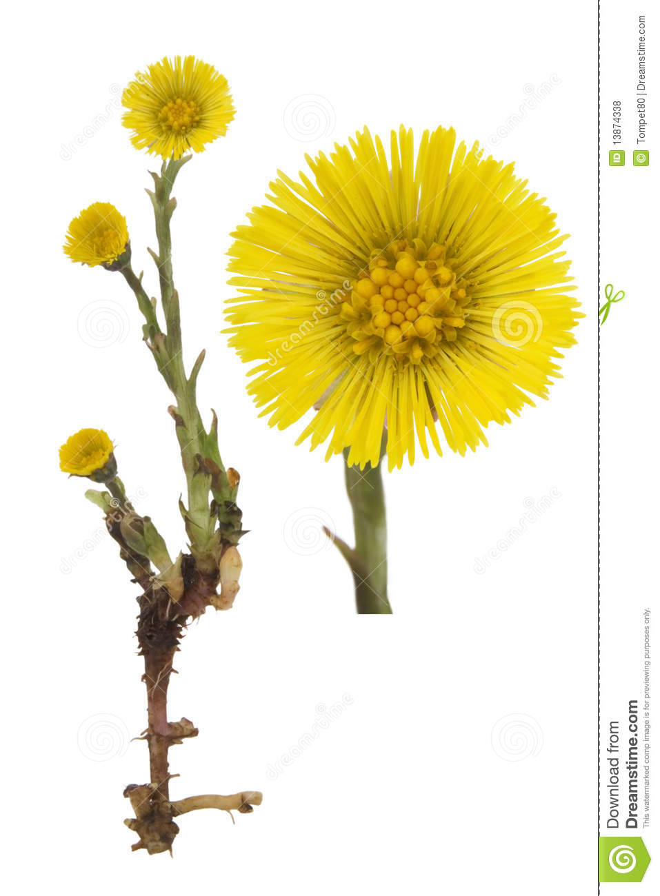 Coltsfoot Medical Tussilago Farfara Royalty Free Stock