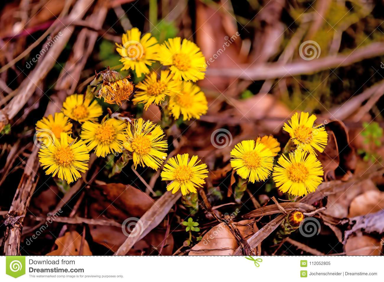 Coltsfoot Medicinal Plant With Flower In Spring Stock Image Image