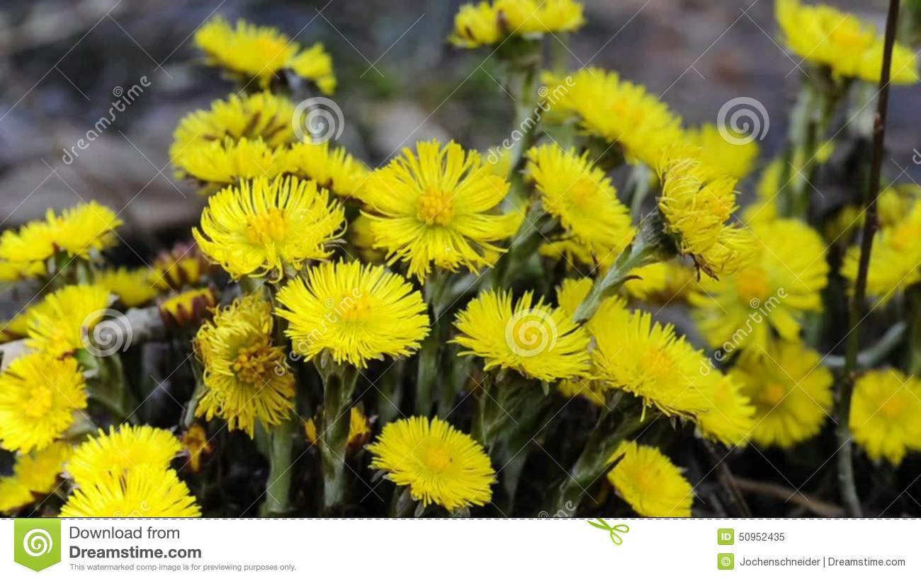 Coltsfoot Medicinal Plant Stock Video Image Of Medicine 50952435