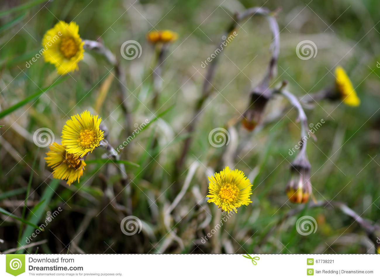 Coltsfoot tussilago farfara stock image image of tragopogon a yellow early spring flower in the daisy family asteraceae a plant with a long history of use in herbal medicine izmirmasajfo