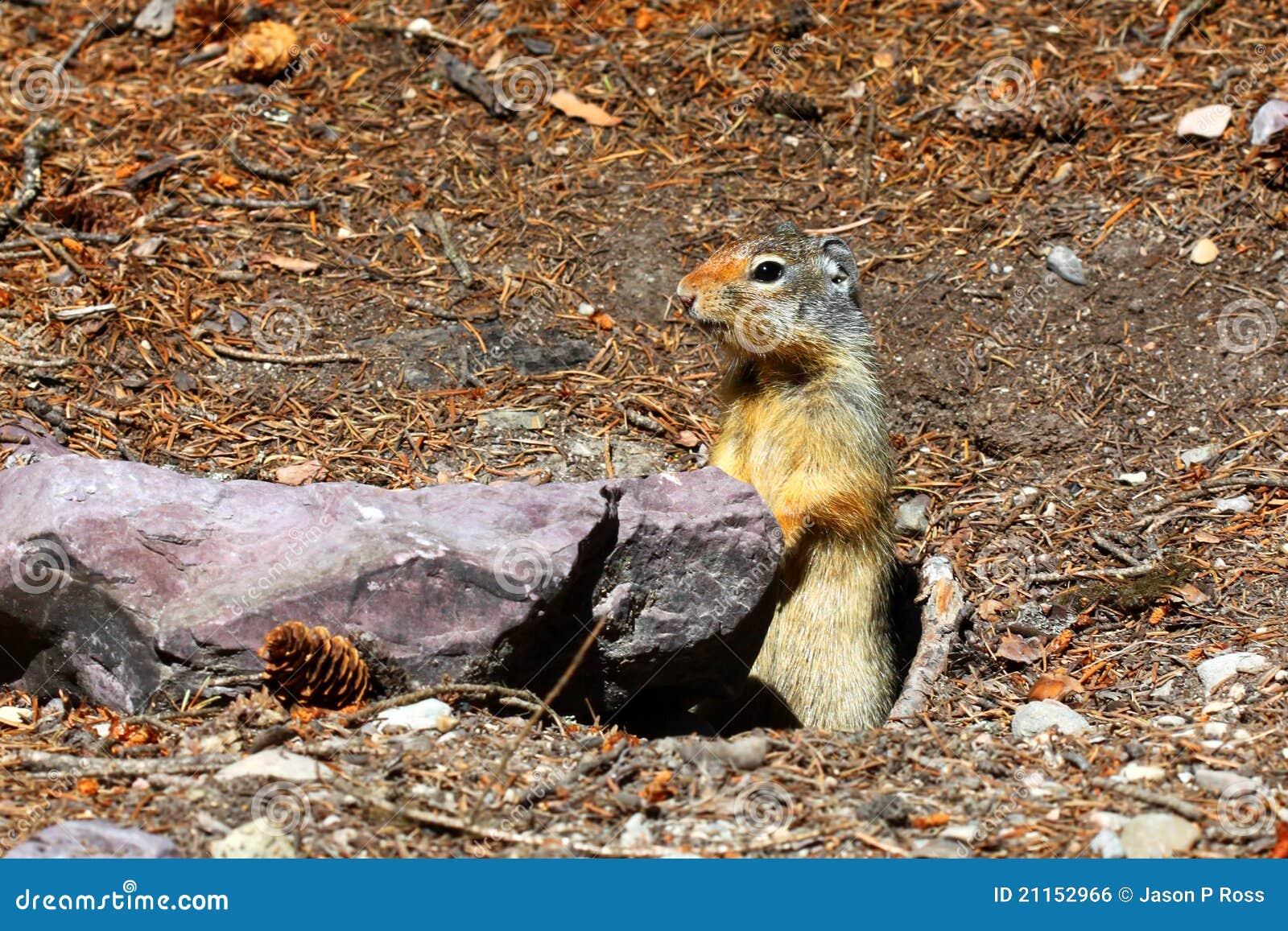 Columbian ground squirrel - Montana