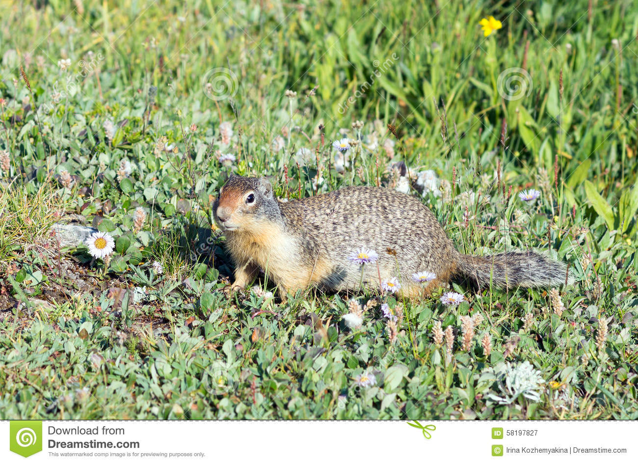 Columbian Ground Squirrel (Urocitellus columbianus) in Glacier