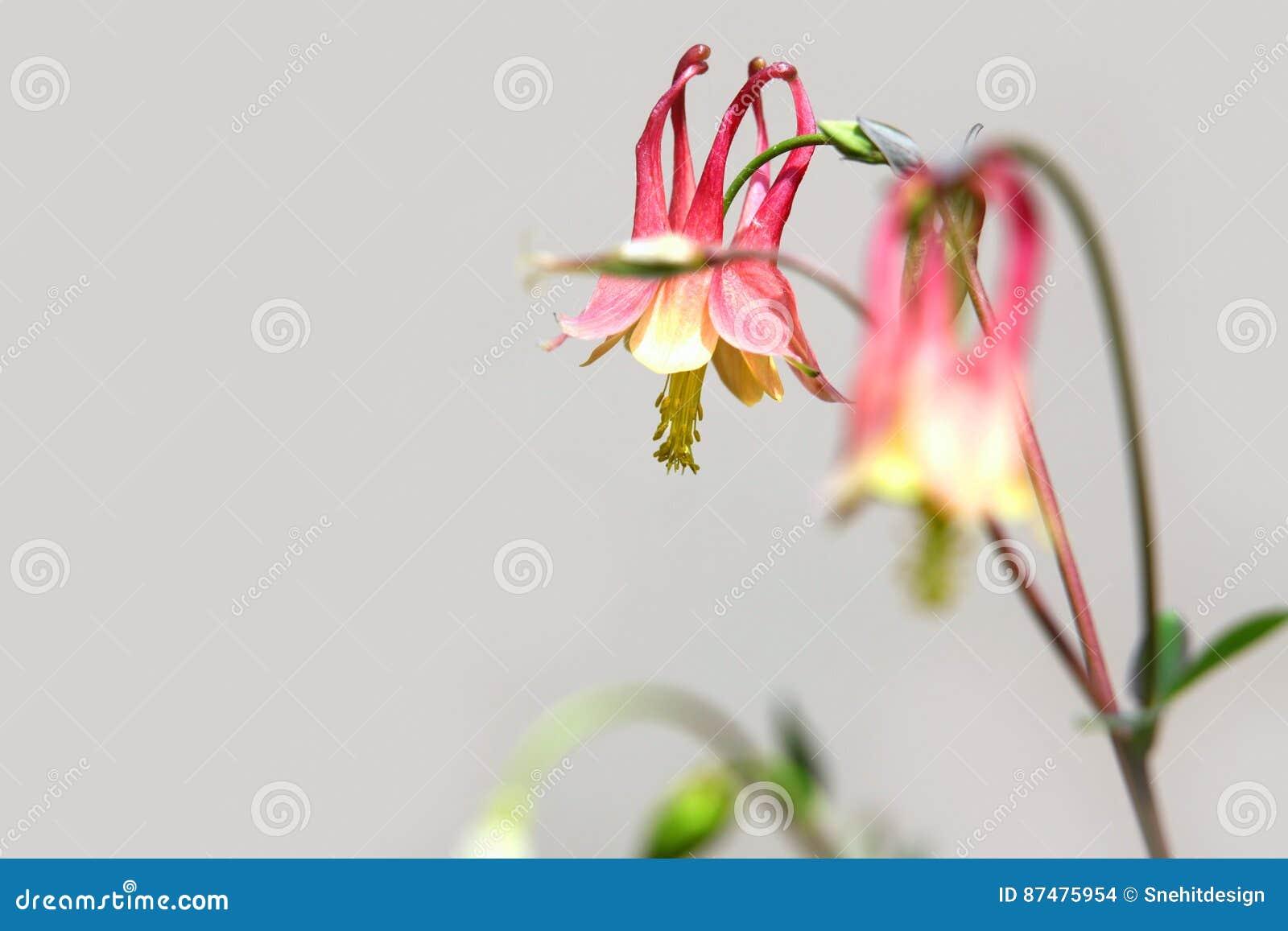 Columbine цветки красные