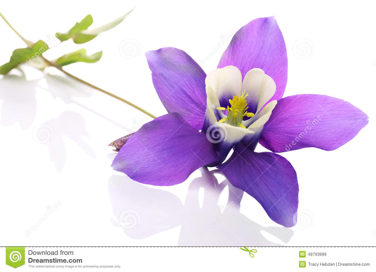 Columbine flower stock photo image 49793999 aquilegia dhlflorist Gallery