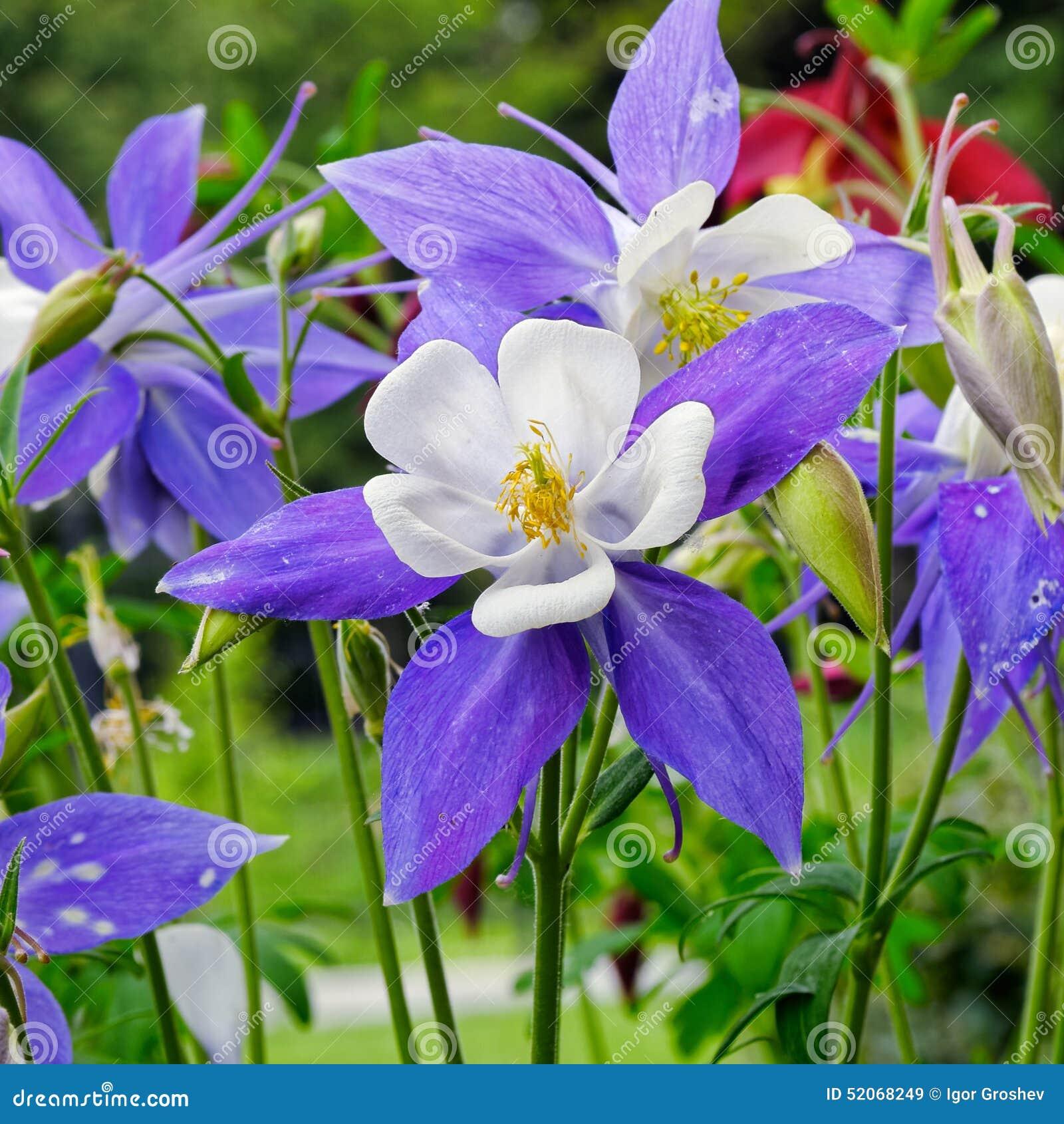 Columbine Flower Stock Image Image Of Plant Pink Stem 52068249