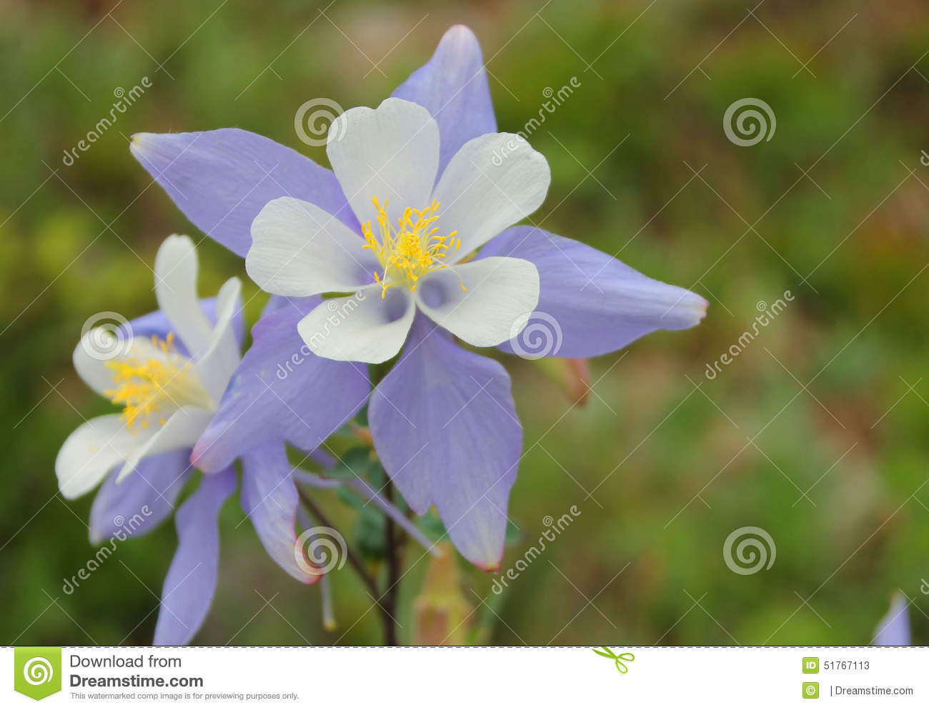 columbine flower stock photo  image, Beautiful flower