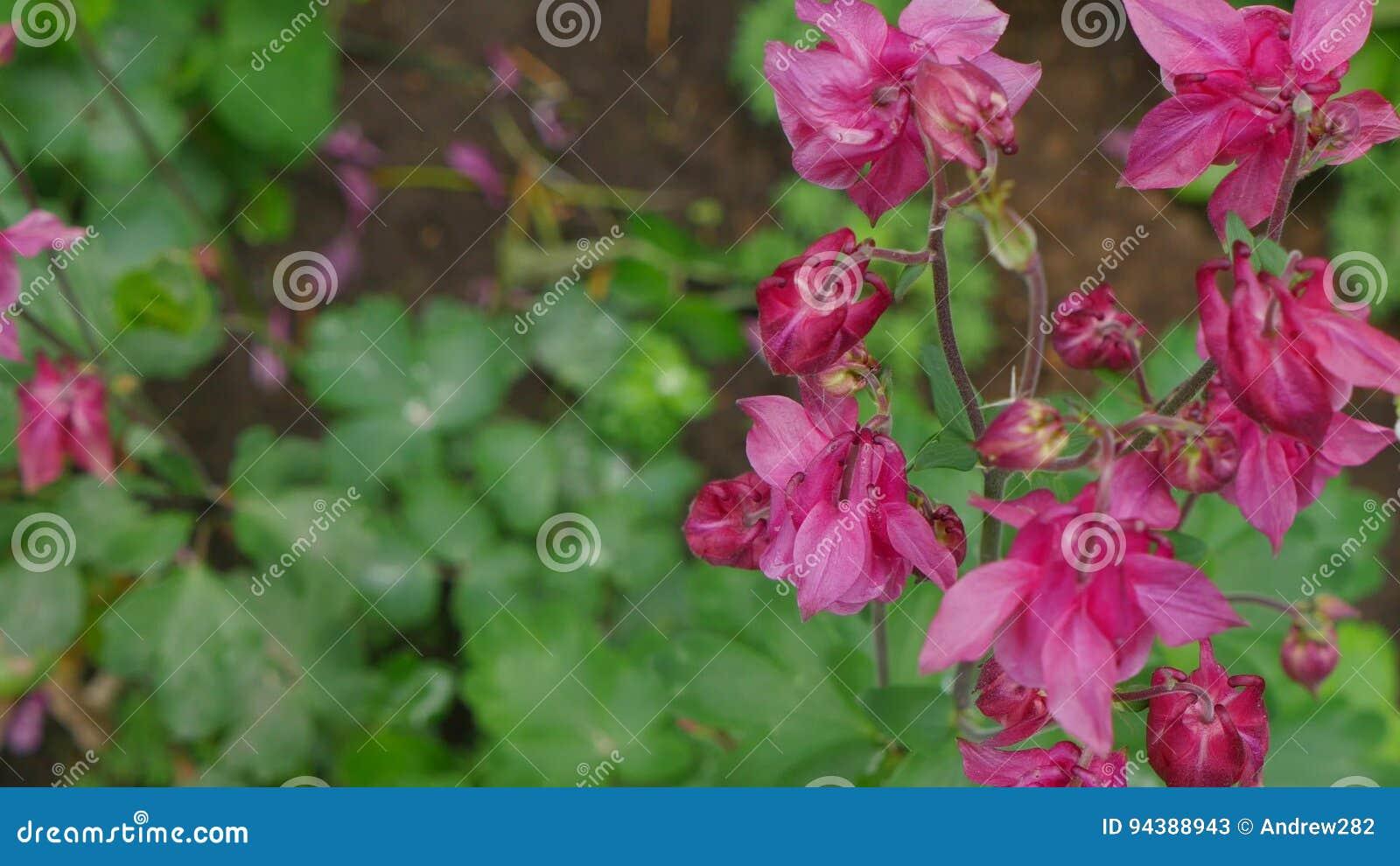 Columbine flower on green background columbine flower purple columbine flower on green background columbine flower purple columbine flower stock video video 94388943 dhlflorist Gallery