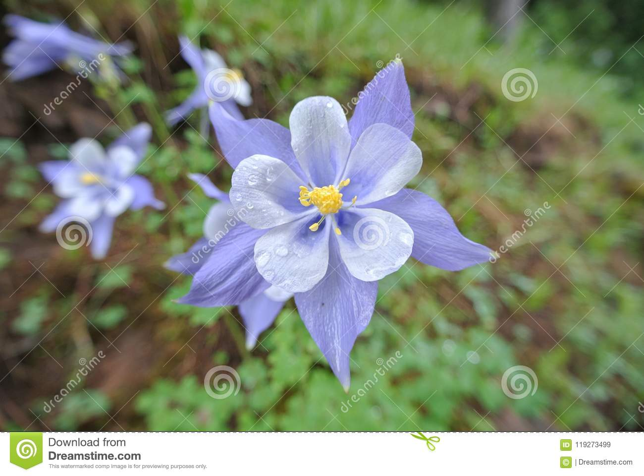 Columbine Flower In The Rain Stock Image Image Of Green State